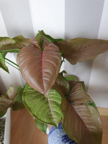 Syngonium  Yellow Pink - Rezerwacja