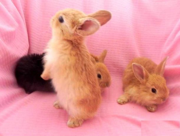 karzełek Teddy, niderlandzki Hodowla miniaturki królik miniaturka