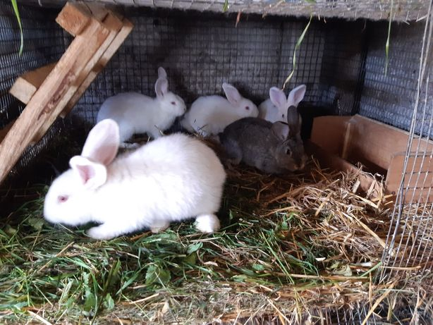 Małe króliki mieszańce