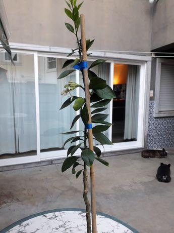 Árvore sobtropical limão pera