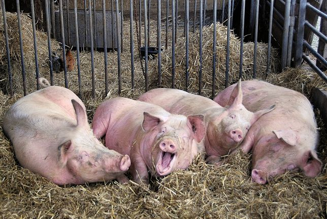 Свиньи мясные 140-250 кг