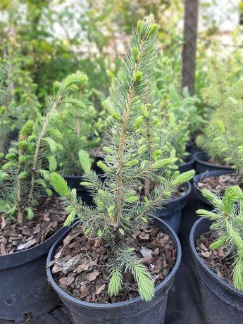 Ялина колюча,блакитна(Picea pungens Glauca).