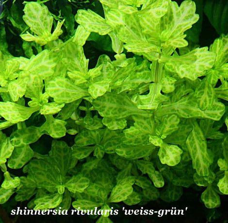 Shinnersia rivularis 'weiss-grün'