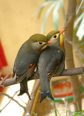 Casal de aves exóticas anilhadas 2021