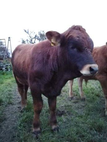 Sprzedam byczka ok. 300kg