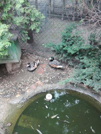 Kaczki świstuny chilijski