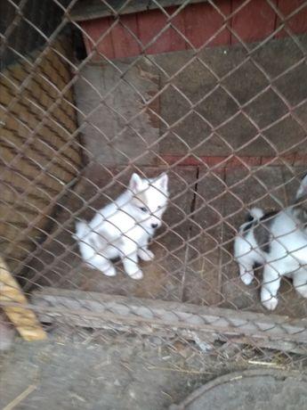 Продам щенят Західно-Сибірська лайка