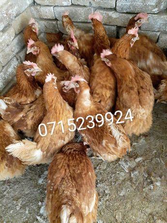 Домашние Курочки Несушки Красные Напольные 9 мес