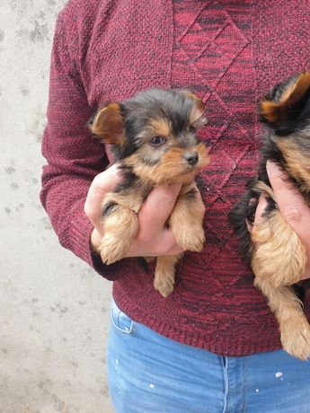 Cachorrinho Yorkshire terrier mini