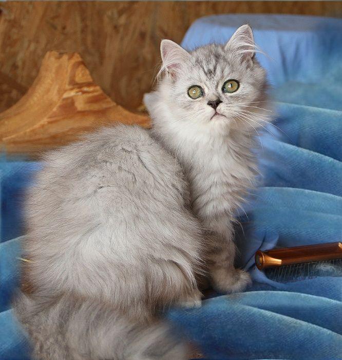 Малыш персидской серебристой шиншилы в шикарной шиншиловой шубке! Київ - зображення 1