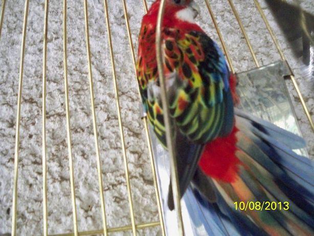папугай розелла красная взрослая