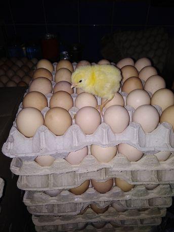Яйцо с Европы инкубационное КОББ РОСС