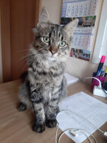 Сибирский кот Киев,