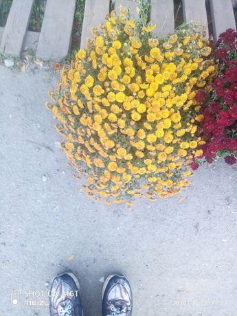 Хризантемки кущевые
