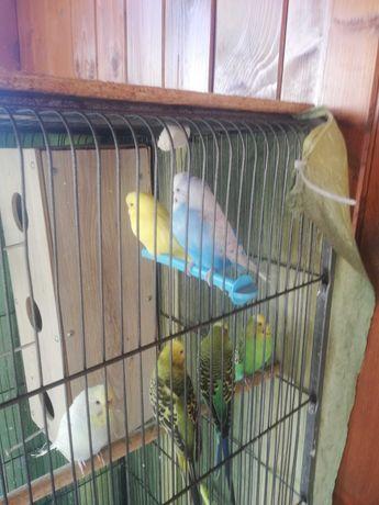Sprzedam/zamienie na większą papuge