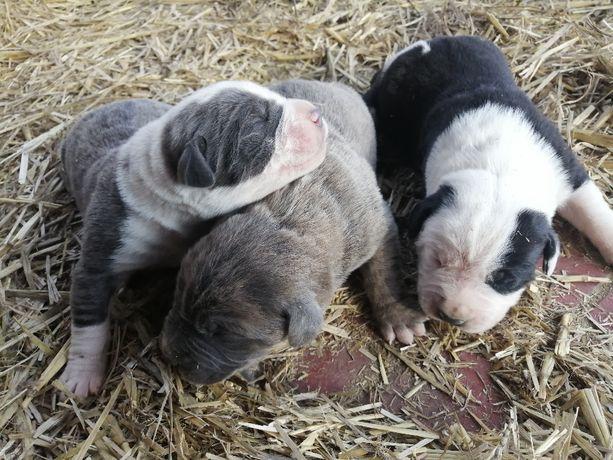 Szczeniaki, szczeniak, Bandog, Dog Niemiecki, Cane Corso Piękne psy