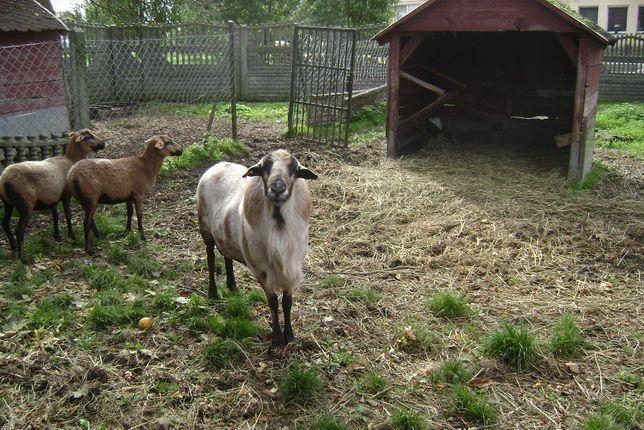 Owce Barbados i zwierzęta.