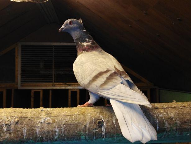 Gołębie śląskie - ardeny - czubate