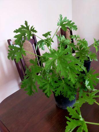 Geranium cytrynka