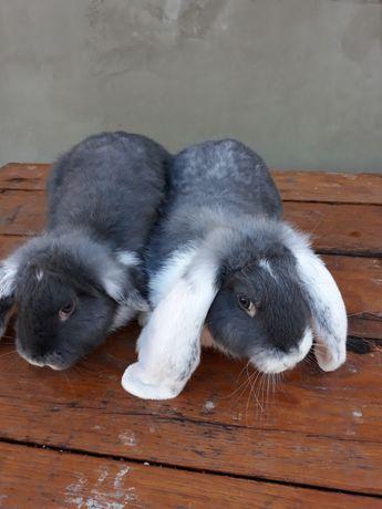 Кролі французький баран