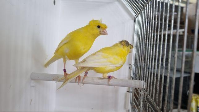 Canários amarelos intensos / nevadas