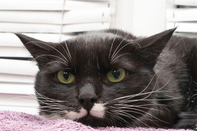 Добрый крупный котик Ёжик (2 года) ДОБРЫЙ, нежный, кастрирован