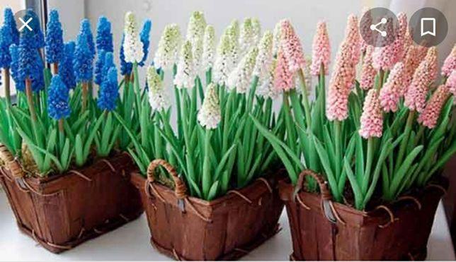 Привет весна! Мини-гиацинт