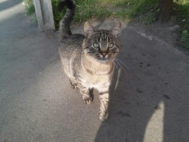 Отдам кота лесного окраса, 1,5 года, кастрирован