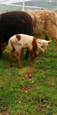 Owce kameruńskie, tryk, owca, jagnięta