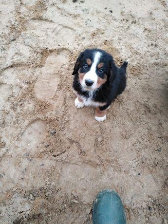 Berneński Pies Pasterski piesek 3 miesięczny