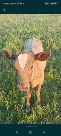 Продам маленькую корову