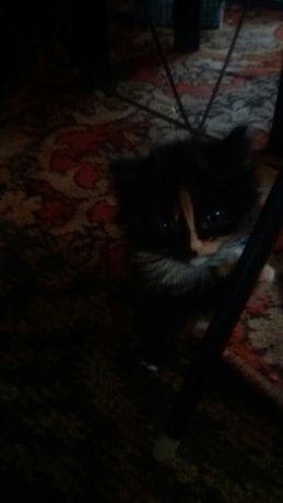 Котенята сибірячки