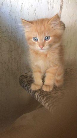 котята(мальчики) рыжего  окраса