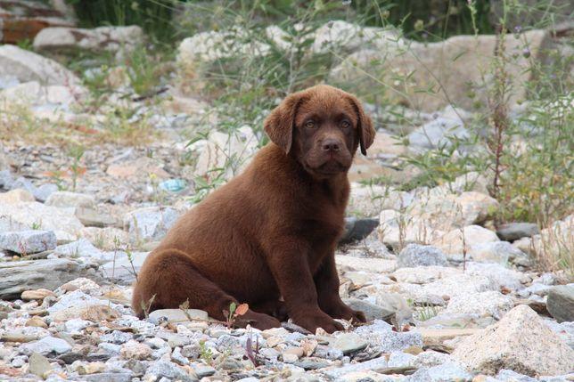 Labrador Retriever com Lop e Afixo