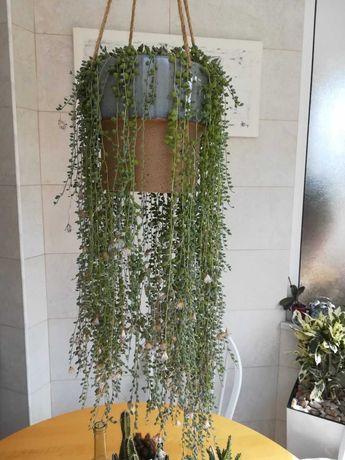 Planta natural, colar-de-pérolas, cordão-de-ervilhas e rosário