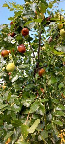 Продам плоды унаби -зизифуса
