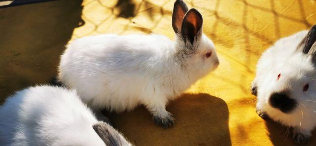 Króliki królik kalifornijskie