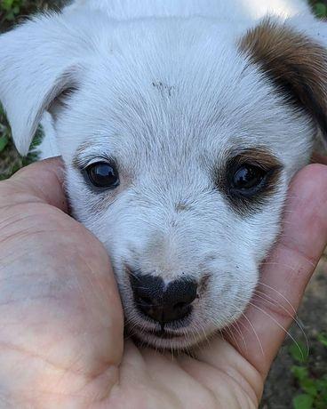 Собачка Эбби (будет до 10 кг) 2.5 месяца собака, щенок, пес