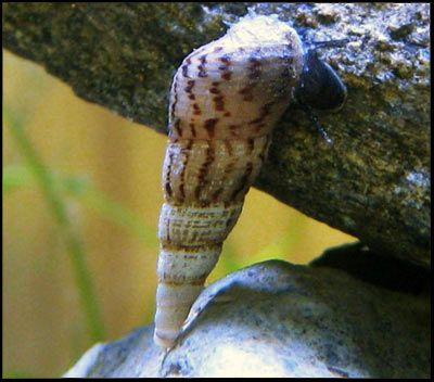 Świderek (Melanoides tuberculatus)