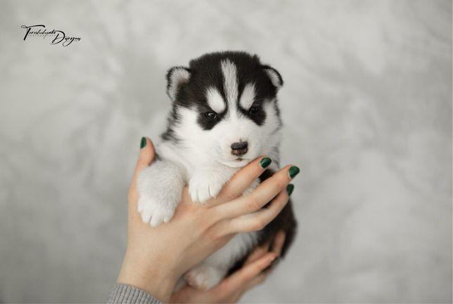 Черно-белая девочка Сибирский Хаски! Гарантия здоровья и психики