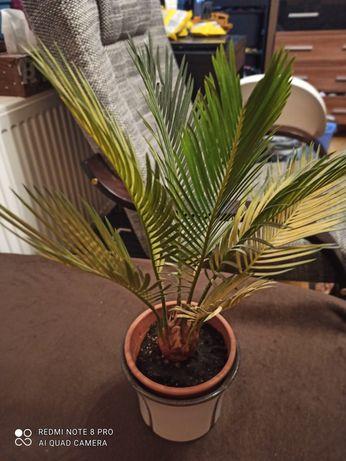 Palma cycas roślina domowa