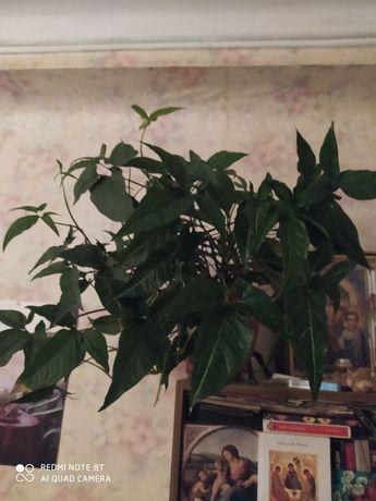 продам растения для комнат кабинетов офисов