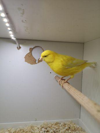 Kanarek żółty samiec