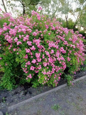 Троянда плетиста безколючкова рожева.