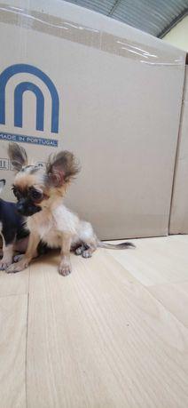 Chihuahua miniatura Fêmea de pelo comprido criado em ambiente
