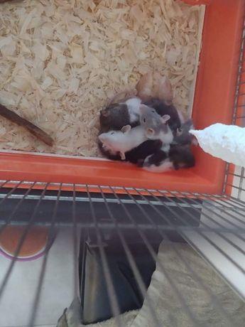 Szczurki 5 tygodniowe po 10 złotych