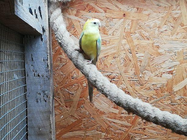 Papugi faliste, zamienię sprzedam.