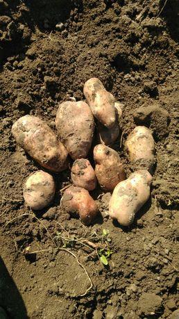 Обмін картопля..