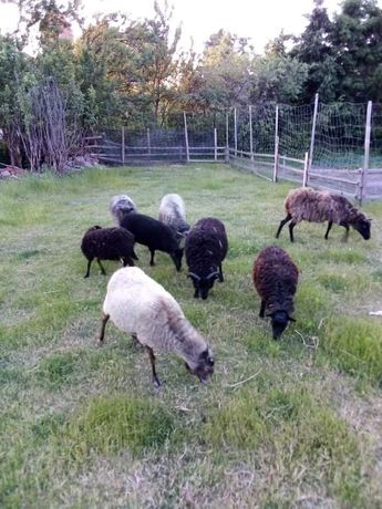 Sprzedam stado owiec
