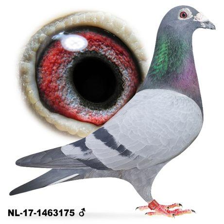 Młode 2021 Para nr 28 Drapa x Huub Hermans gołąb gołębie pocztowe